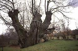 Uno de los castaños más viejos de España