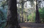 Los eucaliptos más altos de Europa