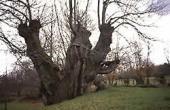 Un dos castiñeiros máis vellos de España