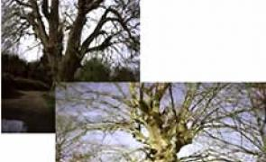 Dous dos carballos máis grandes de España