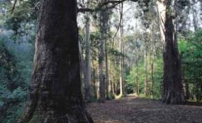 Os eucaliptos máis altos de Europa